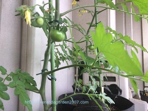 手間がかからないミニトマト栽培